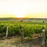 vineyard sunset landscape in czech